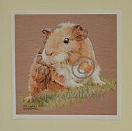 Guinea - guinea pig