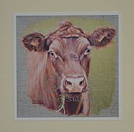 Young Red Poll - cattle