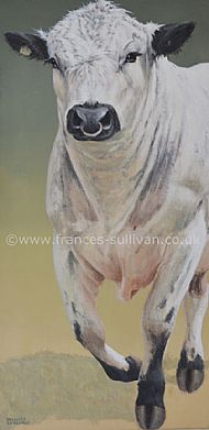 Handsome Chap - British White Cattle