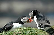 Puffins welcoming each other home
