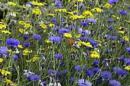 Blue Cornflowers and Yellow Daisies
