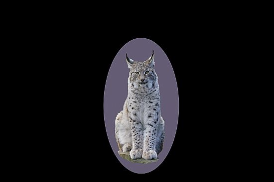 lynx facing camera with a dusty purple/lilac background