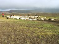 Sheep grazing on the slopes of Mt. Hekla