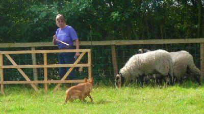 how to train a kelpie sheep dog youtube