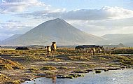 Camels and the Mountain at sunset, from Lake Natron Camp