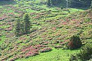 Hillsides of azaleas