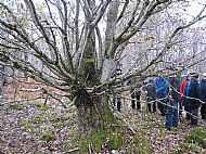 pollarded oak