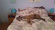 Tired hound