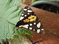 Cream Spot Tiger Moth.