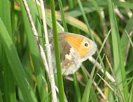 Small Heath Butterfly.