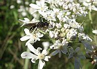 Wasp,Ectimnius lituratus.