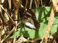 White Admiral Butterfly.