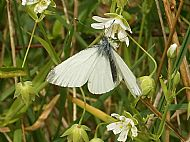 Green Veined White.