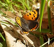 Small Copper Butterfly.