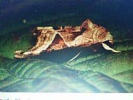 Angle Shades Moth.