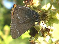 White Letter Hairstreak Butterfly