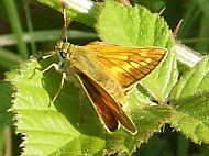 Large Skipper Butterfly.