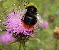 Bee,Bombus lapidarius
