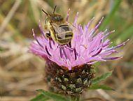 Bee, Anthophora bimaculata