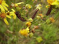 Cinnabar Moth Larva.