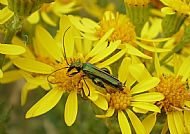 False Oil Beetle.