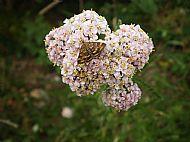 Burnet Companion Moth.