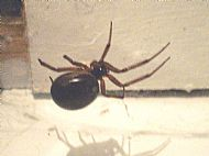 False Widow Spider.