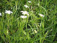 Greater Stitchwort.