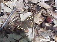Speckled Wood Butterfly.