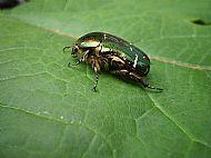 Rose Chaffer Beetle.