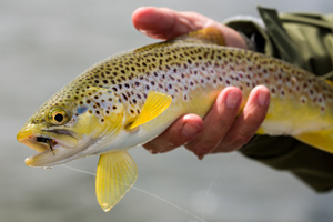 loch boardhouse brown trout