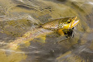 swannay trout
