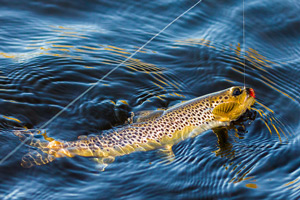loch borrolan brown trout