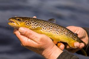 loch ailsh brown trout