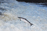 running salmon, dalmore weir, river alness