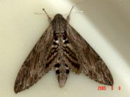 Convolulous Hawk Moth