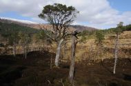 OLD CALEDONIAN PINEWOOD