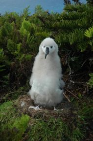 YELLOW-NOSED ALBATROSS CHICK