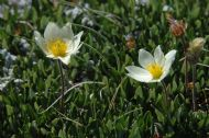 ENTIRE-LEAVED MOUNTAIN AVENS