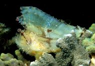 LEAF FROGFISH