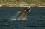 SOUTHERN RIGHT WHALE, HOUT BAY