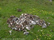 Arctic Terns, Sterna paradisaea.