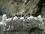 Common Guillemot colony, Uria aalge