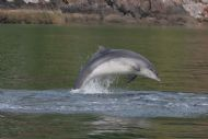 dolphin, cromarty firth: image courtesy aberdeen university lighthouse field station
