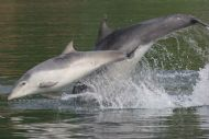 dolphins, cromarty firth: image courtesy aberdeen university lighthouse field station