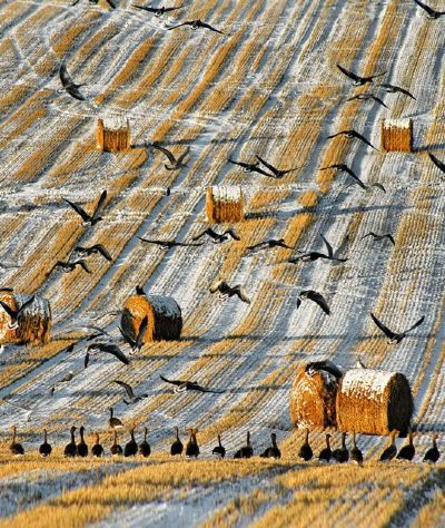 wintering geese on the black isle by andrew dowsett
