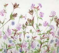 Purple Campion