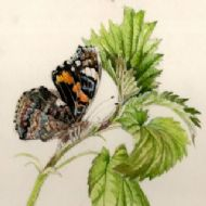 Red Admiral on Nettle