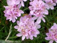 Sea Pinks or Thrift