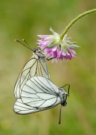 Best Image by DCCMember<br>Mating Black Veined Whites